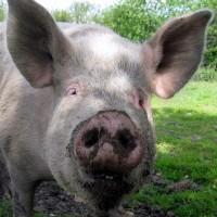 Nicht totzukriegen: Neues von den kranken Schweinen